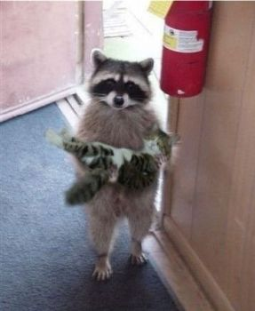racoon and kitty