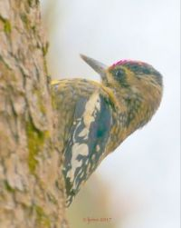 Yellow-bellied Sapsucker along Holmes Run