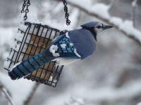 Gaie bleu dans la neige