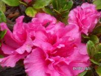 Dark Pink Azalea