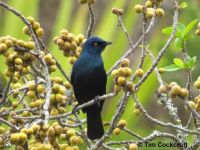 Black-bellied Starling_Port Alfred_South Africa