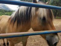 THEME: Horses--Stehekin Norwegian Fjords