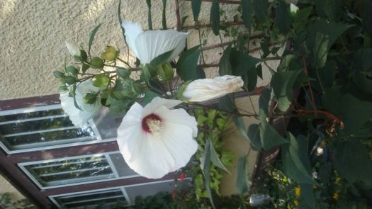 my perennial hibiscus