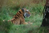 Siberian tiger.....Highland Wildlife Park