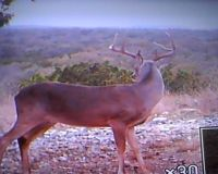 SW Texas Buck