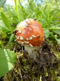 mushrooms_Amanita muscaria