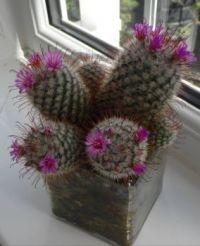 My cactus again in flower.