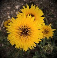 yellow daisies at Edithburgh