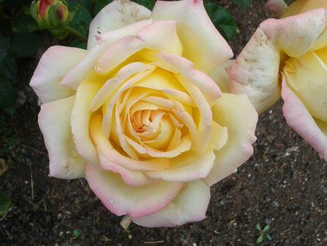 rose at blenim