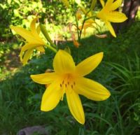 Yellow Lilies that just showed up this spring :-)
