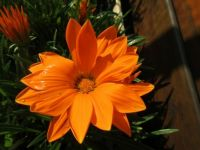 My orange Gazania still doing great....
