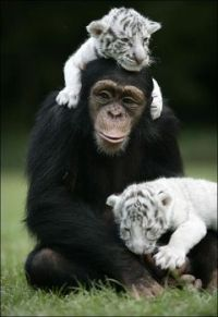 Chimp and Baby Tigers
