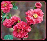 Pinknblack Spring Flowers