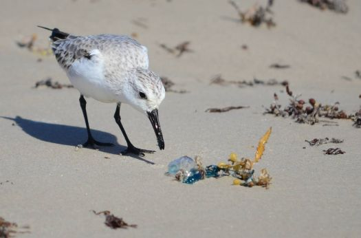 Sanderling considering a Blue Jelly for lunch!