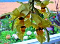 Andeans Orchids