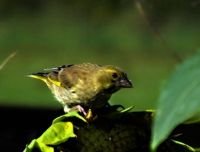 Young Greenfinch on Sunflower