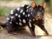Eastern black quoll