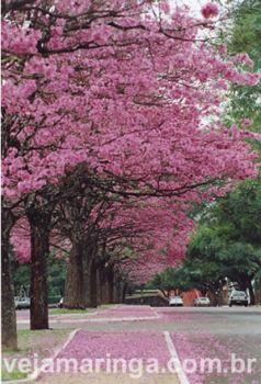 ipes trees