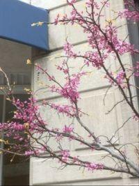 Redbud tree branches