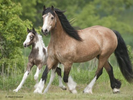 interesting coloured gypsy vanner mare and foal