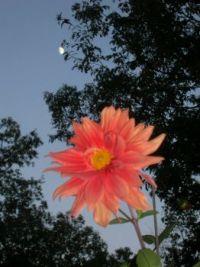 moon over dahlia