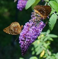 Fritillary butterflies on butterfly bush