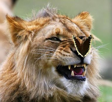 Butterfly visiting Lion.