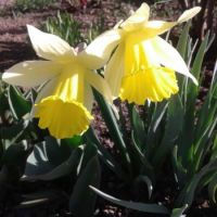 Daffodils for my royal adviser, meow ☺Max