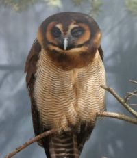Brown Wood Owl (Strix leptogrammica) by vogelcommando