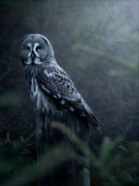 Great Grey Owl out in the wild