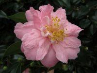 Camellia japonica 'Hana Fuki'