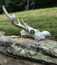 skull with chrysalis