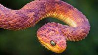 Atheris - Bush Viper