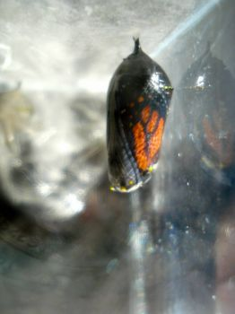 Monarch Butterfly chrysalis today.