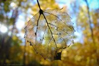 see through leaf
