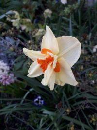 Narcis 'My Story' ,Narcissus x hybridus