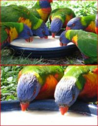Rainbow Lorikeets feeding...