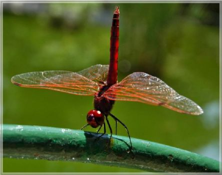 Red Dragon Fly III
