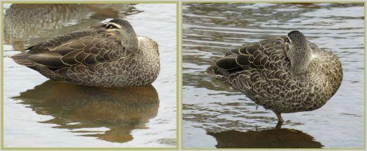 Sleeping ducks..
