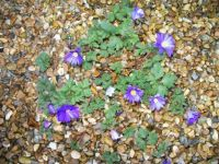 Self-seeded Anemones