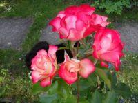 my beautiful rose 2