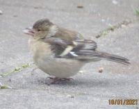 Female Chaffinch on a cold windy day.