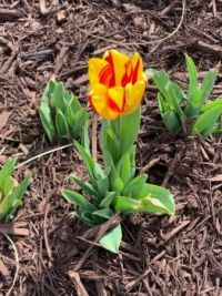 First tulip of the season!