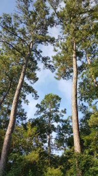 Tall Pines 2