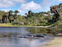 Aligators at Deep Hole, Myakka River State Park, Florida