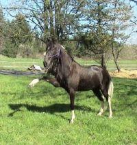 Tenessee walking horse