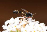 Waisted Beegrabber  - Physocephala rufipes (gewoon knuppeltje)