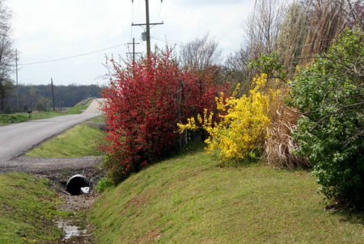 Flowering Quince and Forsythia