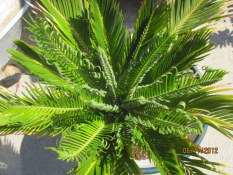 New fronds unfurling on rescued sago palm