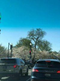 Cherry Blossom Festival 2021 003